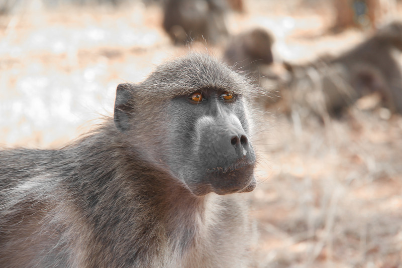 'What are you looking at?' - A baboon with poignant eyes.