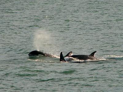 Killer Whales, Lynn Canal AK