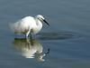 Snowy Egret, Southern CA coast