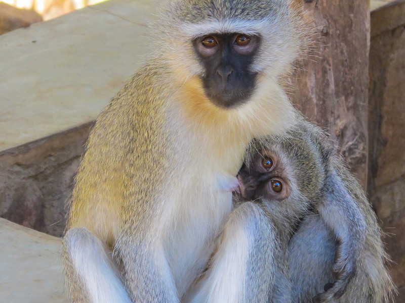 'The Vervet Underground' - A shot of a vervet monkey breastfeeding its young.
