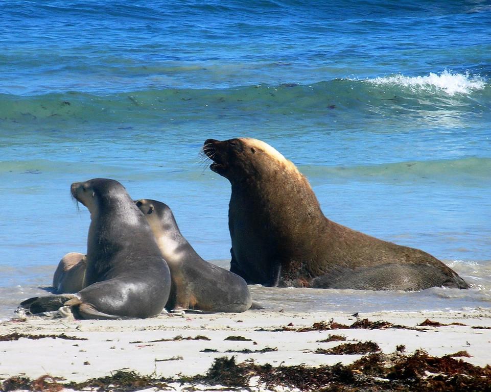 Sea Lion family, Kangaroo Island, Australia