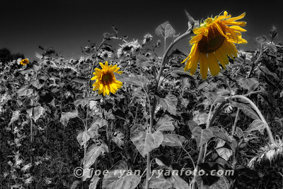 Summer Sunflowers West Windsor, NJ