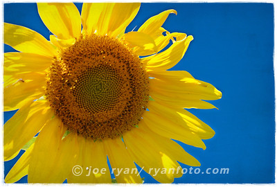 Sunflower West Windsor, NJ