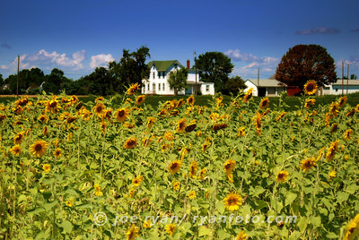 Sunflower Field Grover's Farm, West Windsor, NJ