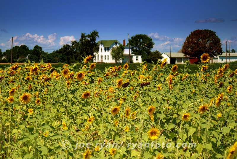 Sunflower Field<br /> Grover's Farm, West Windsor, NJ