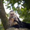 Capuchin monkey family with a baby snuggles on a tree