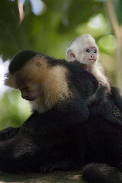 Baby capuchin monkey in the jungle - snuggling with its mother.