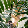 The critically endangered red backed squirrel monkey on a palm leaf in costa rica (jungle, rainforest)