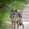 wolves-stockpictures9040