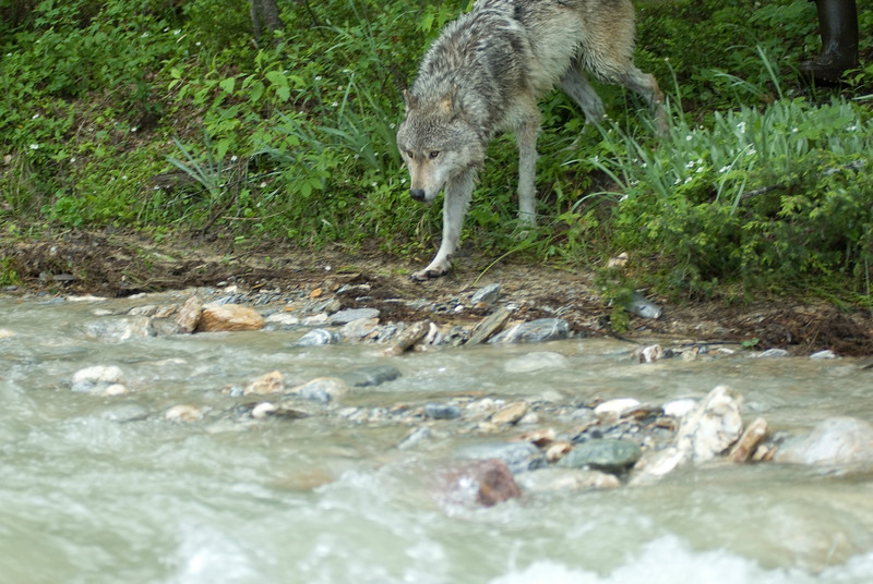 wolf-photograph9239