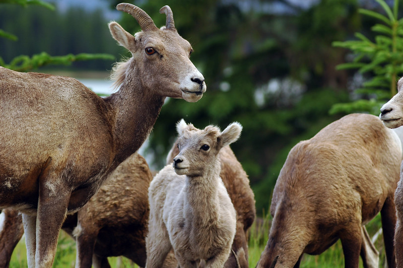 Bighorn sheep herd with a baby - Nature Stock Image by Professional Nature Photographer Christina Craft