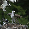 osprey action photography86081 1