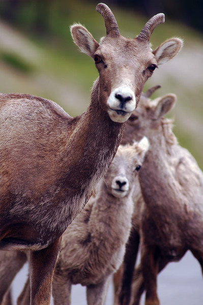 Bighorn sheep - Nature Stock Image by Professional Nature Photographer Christina Craft