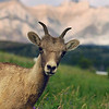 Bighorn sheep - cute animal pictures Rocky Mountain landscape mountains scenic landscape - Photograph by professional nature stock photographer Christina Craft