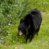 Black bear cub - Nature Stock Image by Professional Nature Photographer Christina Craft