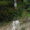 mountain-goat-pictures8227