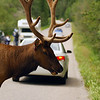 Elk crossing the road - Nature Stock Image by Professional Nature Photographer Christina Craft