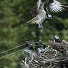 osprey action photography8602
