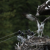 osprey action photography8609