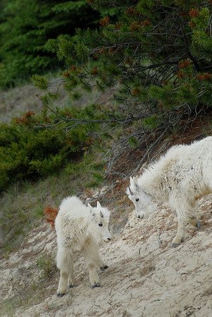 mountain-goat-pictures8228