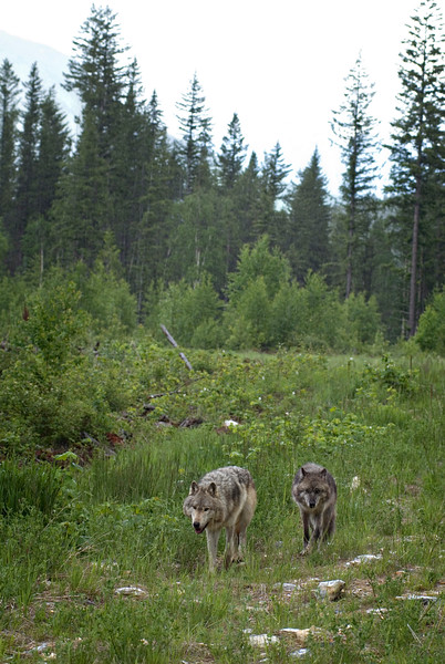 wolf-photograph9235