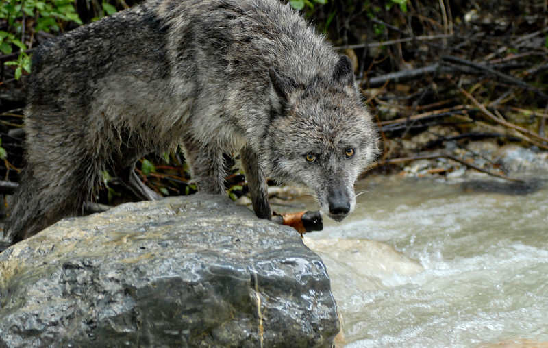 wolf-photograph9242