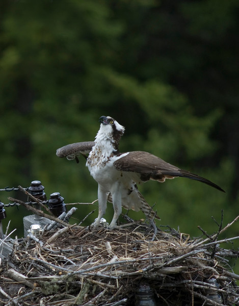 osprey action photography8608