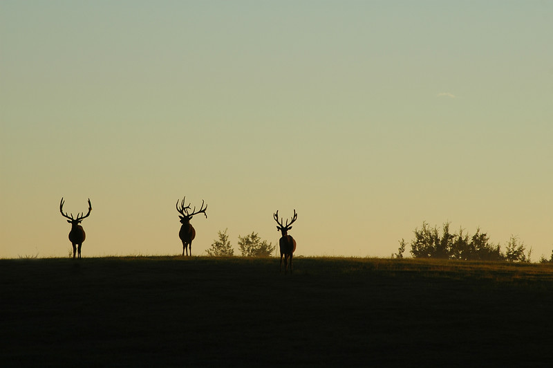 Three wapiti elk Rocky Mountain landscape mountains scenic landscape - Photograph by professional nature stock photographer Christina Craft