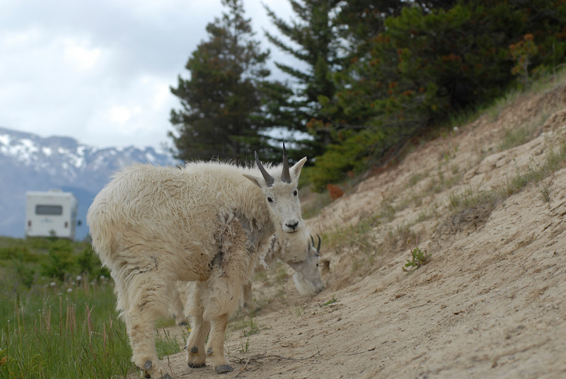 mountain-goat-pictures8231