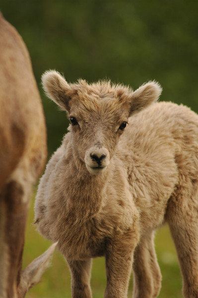 Bighorn sheep baby - Nature Stock Image by Professional Nature Photographer Christina Craft