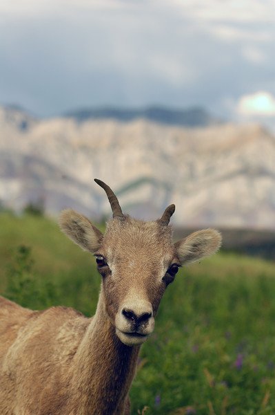 Bighorn sheep looking at the photographer Rocky Mountain landscape mountains scenic landscape - Photograph by professional nature stock photographer Christina Craft