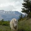 mountain-goat-pictures8236