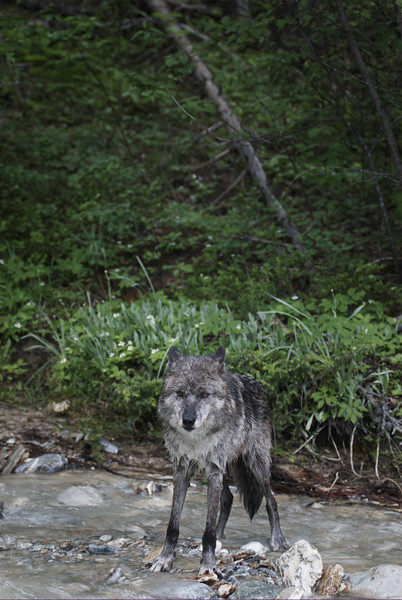 wolf-photograph9237
