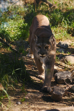 Cougar - Nature Stock Image by Professional Nature Photographer Christina Craft