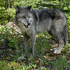 wolves-stockpictures9048