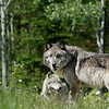 wolves-stockpictures9053