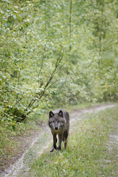 wolf-photograph9256