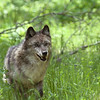 wolf-photograph9233