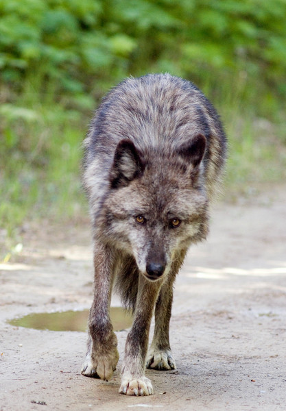 wolves-stockpictures9030
