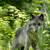 wolf-photograph9232