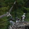 osprey action photography8607