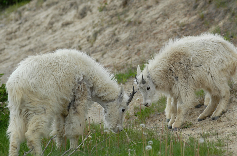 mountain-goat-pictures8232