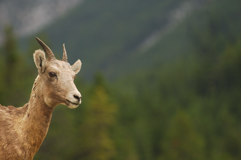 Bighorn Sheep of the Rocky Mountains - Photograph by professional nature stock photographer Christina Craft