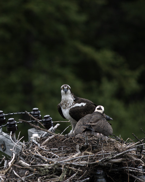 osprey action photography8604