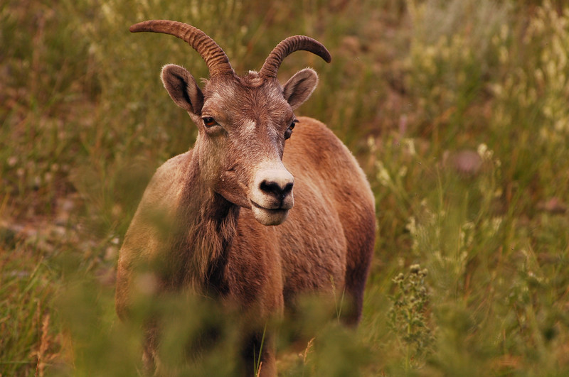 Bighorn sheep closeup - Rocky Mountain landscape mountains scenic landscape - Photograph by professional nature stock photographer Christina Craft