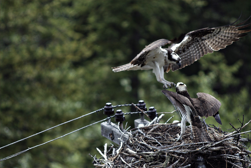 osprey action photography8603