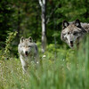 wolves-stockpictures9050