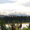 Wapiti elk in the rockies - Nature Stock Image by Professional Nature Photographer Christina Craft