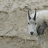 mountain-goat-pictures8230