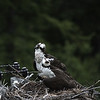 osprey action photography8605